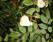 ENGLISH ALBA CLIMBING ROSES AUTHENTIC & RARE