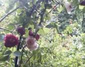 ENGLISH BLUSH PINK CLIMBING ROSE