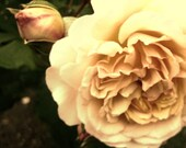 antique rose in sepia 8x10 photo print free shipping