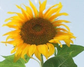 sunflower 8x10 glorious  photo print on watercolor paper