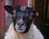 Light Grey Shetland Roving (4oz.) - Helle