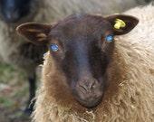 Moorit Shetland Roving (4 oz.) - Arwen