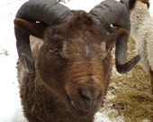 Moorit Shetland Roving (4 oz.) - Fimtan