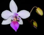 Phalaenopsis Venus Mini Pink Orchid Near Blooming Size
