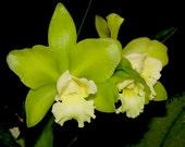 VERY Fragrant Brassolaeliocattleya Hawaiian Passion Orchid Plant