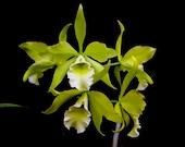 Rhynchobrassoleya (Blc) Everything Nice 'Showtime' HCC/AOS Easy Green Cattleya Orchid