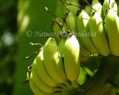 Bananas, They're Not Ripe - Nature Photography