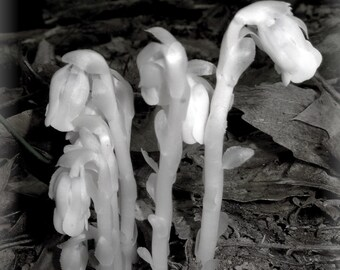 Indian Pipes 5x7 Fine Art Photograph