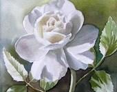 White Rose II - Original watercolor painting Rose Flower 6x6 inch by Doris Joa