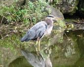 Great Blue Heron, photograph