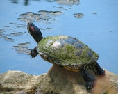 Painted turtle, photograph