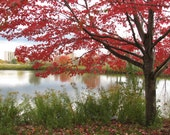 Red maple tree, photograph