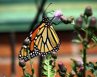 Monarch, photograph