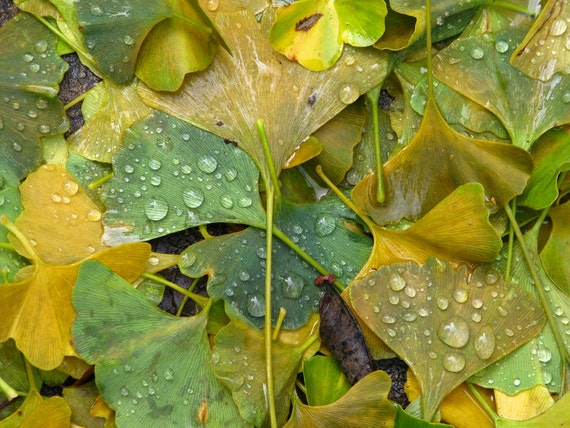 Ginkgo leaves with rain drops, photograph