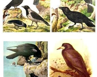 Black Crows and Ravens No. 1 - Digital Collage Sheet - Instant Download