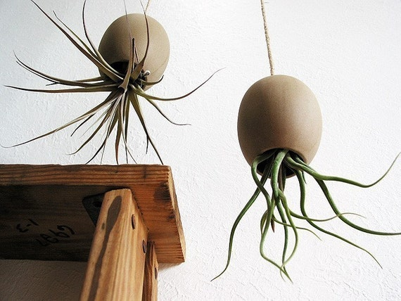 RESERVED Hanging AirPlant Pod (tm) - Natural Moroccan Sand and 3 free air plants to go with previous order