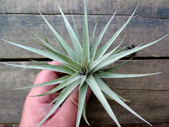Tillandsia Air Plant Stricta Hybrid By Mudpuppy On Etsy