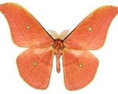 Salmon Colored Moth Butterfly Vinyl Decal - Varying Sizes
