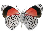 Red White and Black Butterfly Vinyl Decal - Varying Sizes