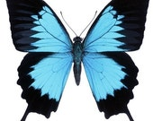Beautiful Blue Morpho Butterfly Vinyl Decal - Varying Sizes