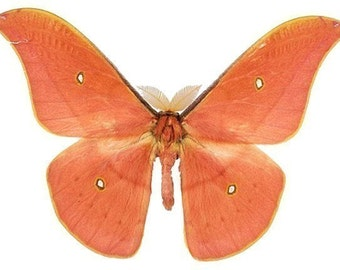 Salmon Colored Moth Butterfly Vinyl Decal