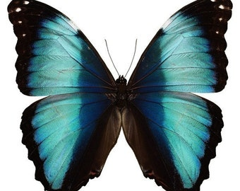 Aqua and Black Butterfly Vinyl Decal - Varying Sizes