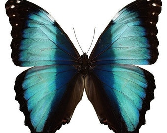 Beautiful Blue and Black Butterfly Decal - Varying Sizes
