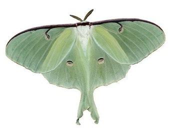 Luna Moth Vinyl Decal - Varying Sizes