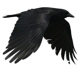 Full Color Crow Flying Right