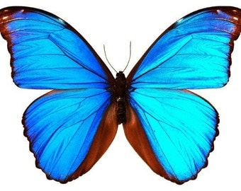 Bright Blue Butterfly Vinyl Decal
