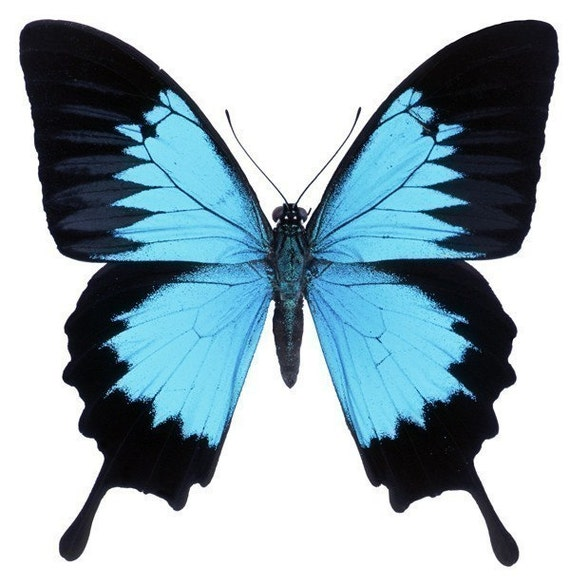 Beautiful Blue Morpho Butterfly Vinyl Decal By Wilsongraphics