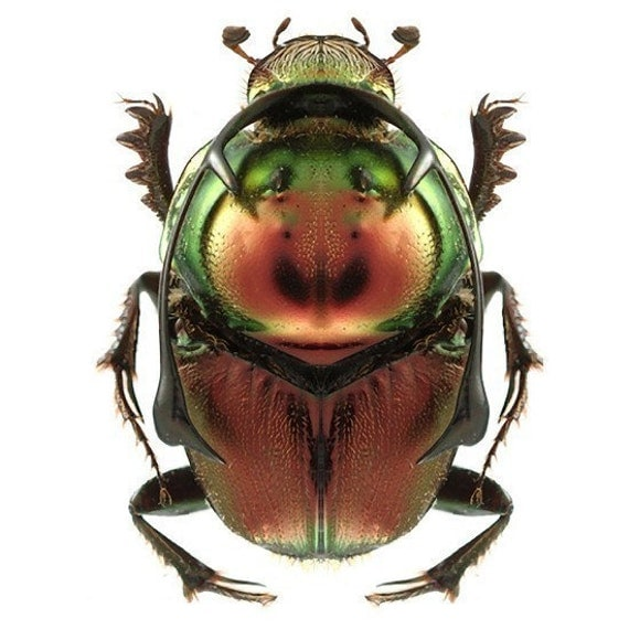 Bronze and Green Beetle