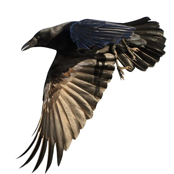 Full Color Crow Flying Left