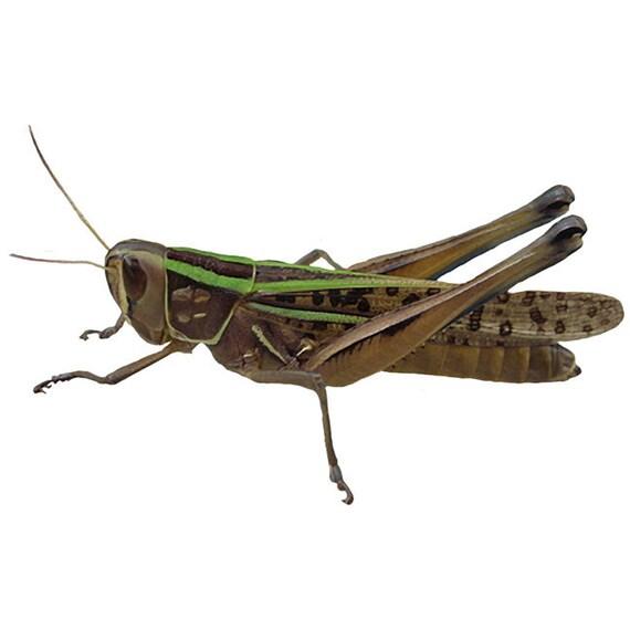 Grasshopper Design 5 Decal