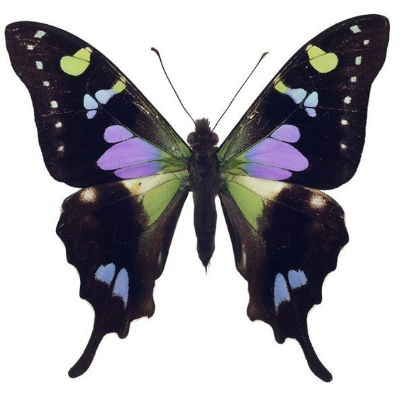 Black and Purple Butterfly Vinyl Decal - Varying Sizes