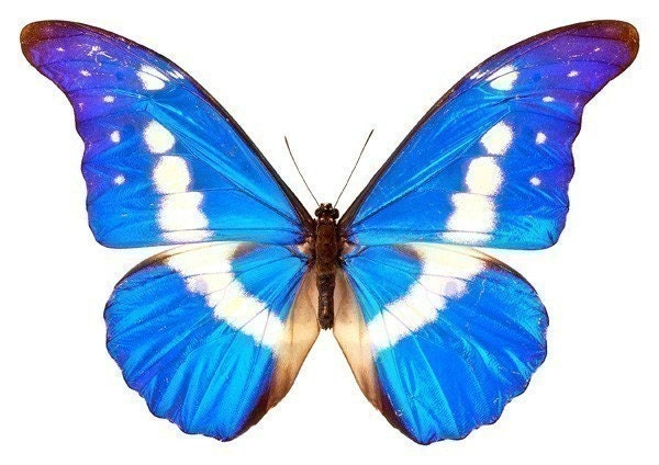 Bright Blue And White Butterfly Vinyl Decal By Wilsongraphics