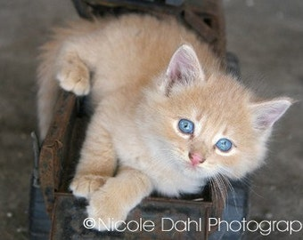 Sweet Blue-Eyed Orange Tabby Kitten Fine Art Print, National Cat Day October 29, Country, Farm, Outdoors, Pet, Animal Lover, Home Decor