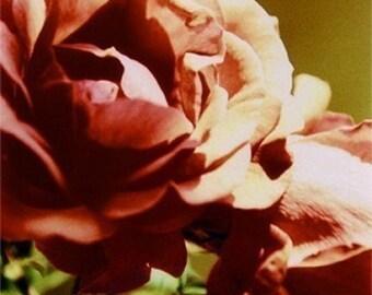 SALE Rose  -- cross-processed -- 8x10 print