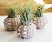 pineapple . air plant . tillandsia . urchin .  terrarium