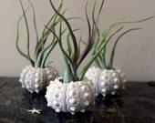 med. medusa // sea urchin airplant // tillandsia terrarium