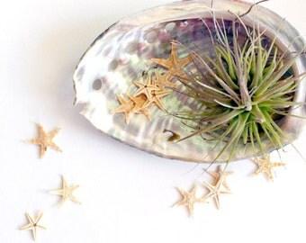 starfish . abalone . air pllant . tillandsia . garden