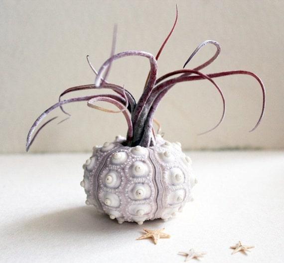 medusa // sea urchin // air plant tillandsia // terrarium