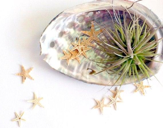 abalone starfish // air plant tillandsia // garden