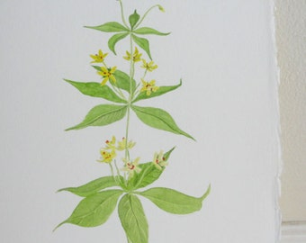 Watercolor Painting Yellow Flower Botanical Yellow Loosestrife Original Painting