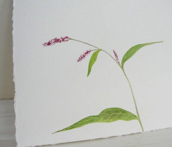 Watercolor Botanical Pink Lady's Thumb Original Painting