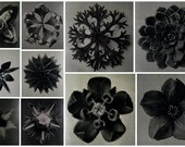 10 high res black and white photos by Karl Blossfeldt 'Square flowers'