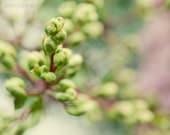 Flower photography green buds  bokeh wall art fine art photograph home decor Crepe Myrtle Buds
