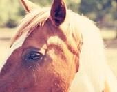 farm animal photography, horse art, farm decor , rustic decor, brown and white horse, horse photo, nursery art, Pretty Paint