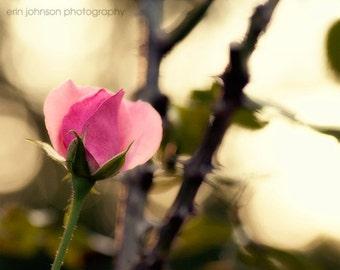 flower photography pink rose nature photography fine art botanical wall art pink home decor Enchanted Rose