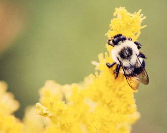 bee photography, nature photograph, goldenrod flower, yellow home decor, nursery decor, bee art, The Busy Bumblebee